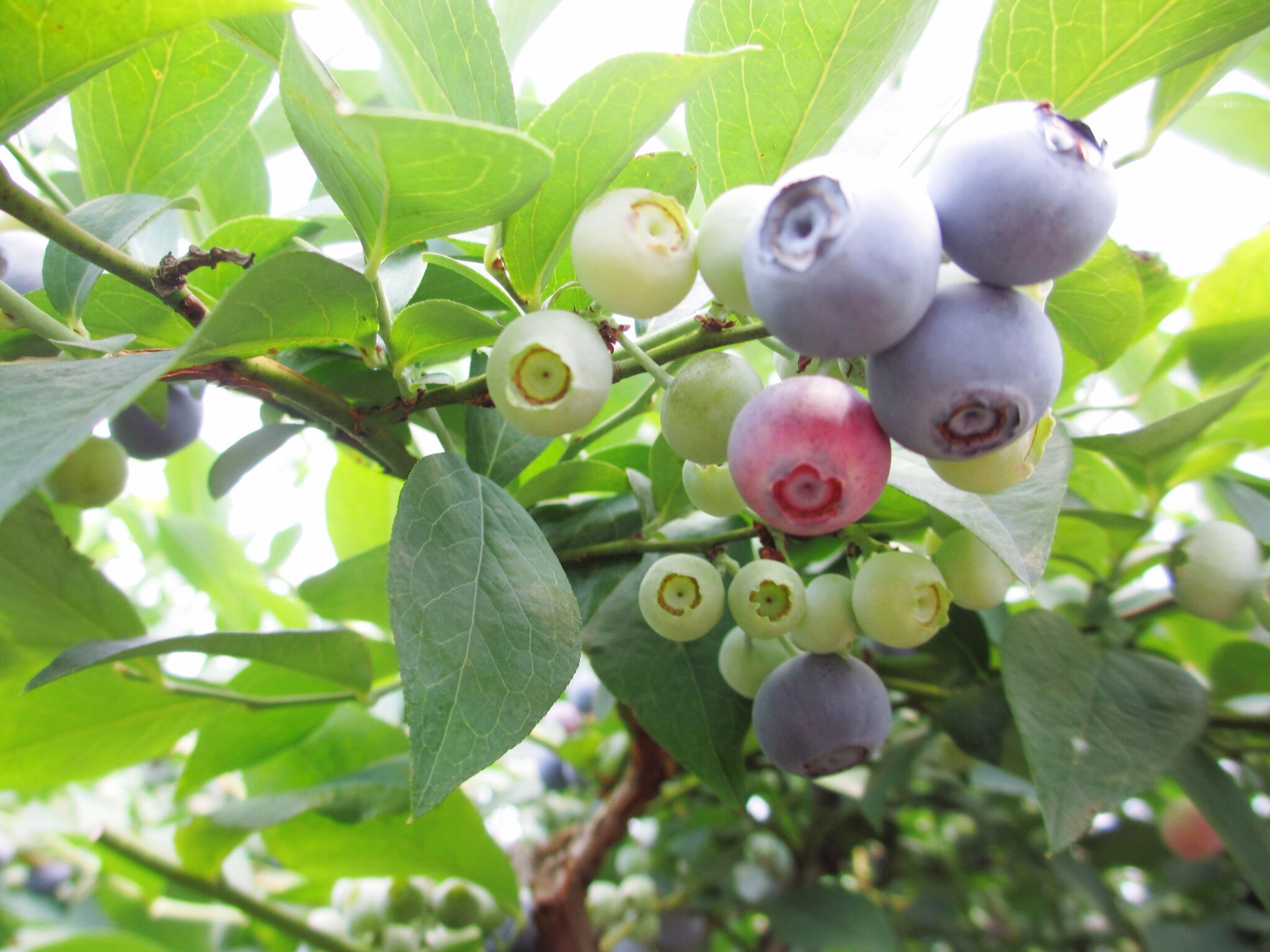 leaf, fruit, growth, freshness, food and drink, tree, branch, low angle view, food, green color, hanging, healthy eating, nature, close-up, plant, day, beauty in nature, bunch, berry fruit, outdoors