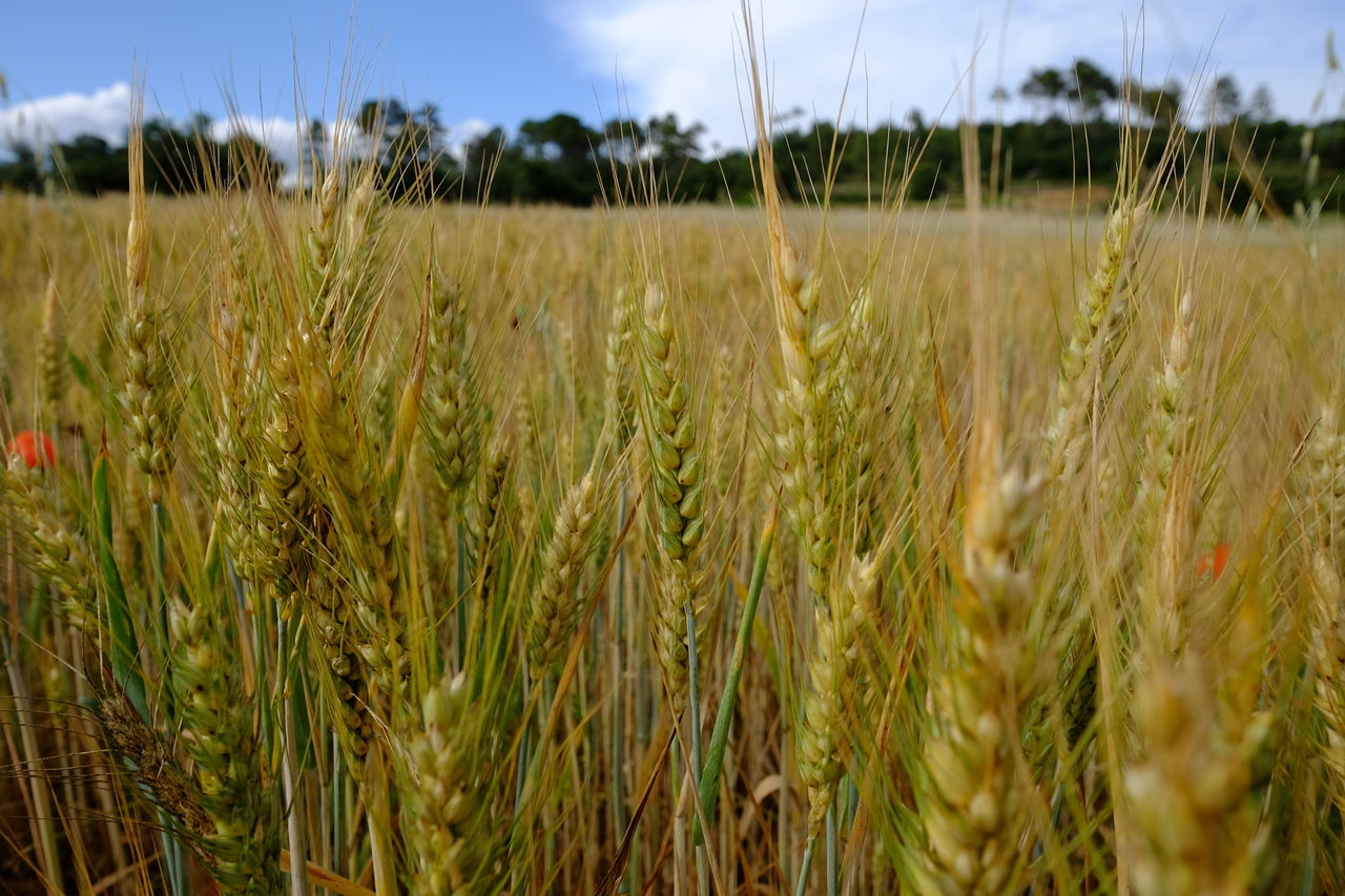 Wheat ready for the harvest Agriculture Beauty In Nature Cereal Plant Close-up Crop  Day Ear Of Wheat Field Growth No People Tranquil Scene Wheat