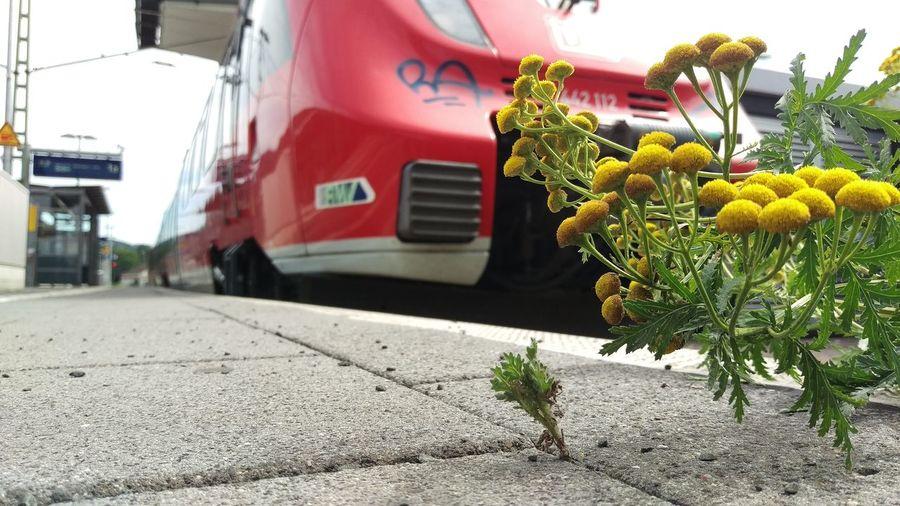EyeEm Best Shots - The Streets EyeEm Nature Lover Hello World Train Station Platform Flowers Flowerporn Flower Collection Rainfarn Tanacetuum_vulgare Wurmkraut HTC One M9 HTC_photography EyeEm Best Shots EyeEm Deutschland