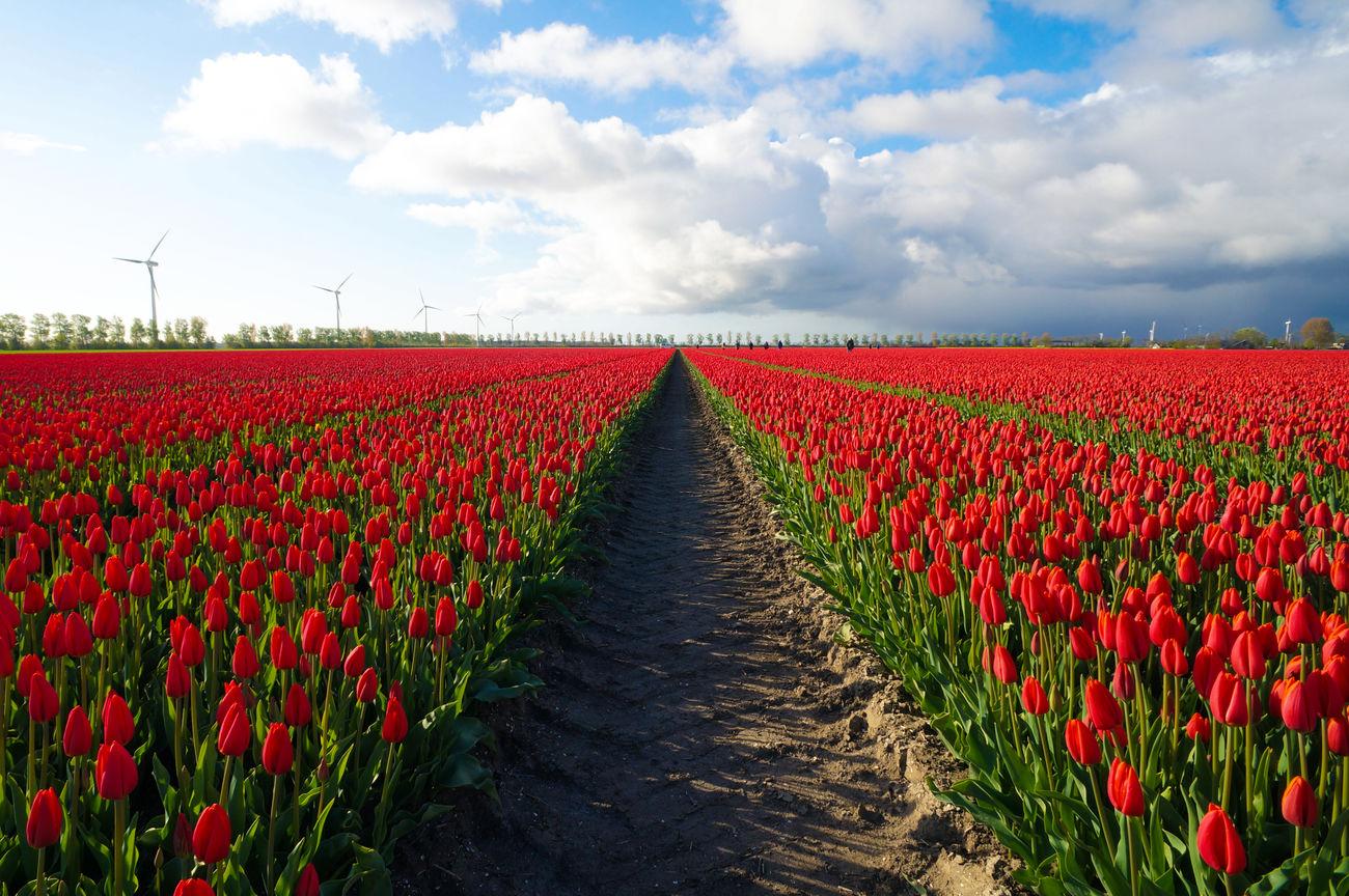 Tulpen symmetrie Beauty In Nature Cloud - Sky Dronten Europe Field Flevoland Flower Landscape Nature Outdoors Red Scenics Sky The Netherlands Tranquility Tullips Tulpen