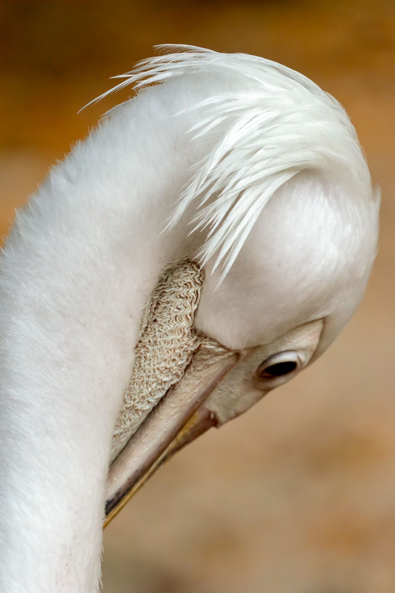 Animal Body Part Animal Head  Avian Beak Beauty In Nature Close-up Day Detail Feather  Focus On Foreground Nature No People Outdoors Part Of Selective Focus Softness White White Color Wildlife