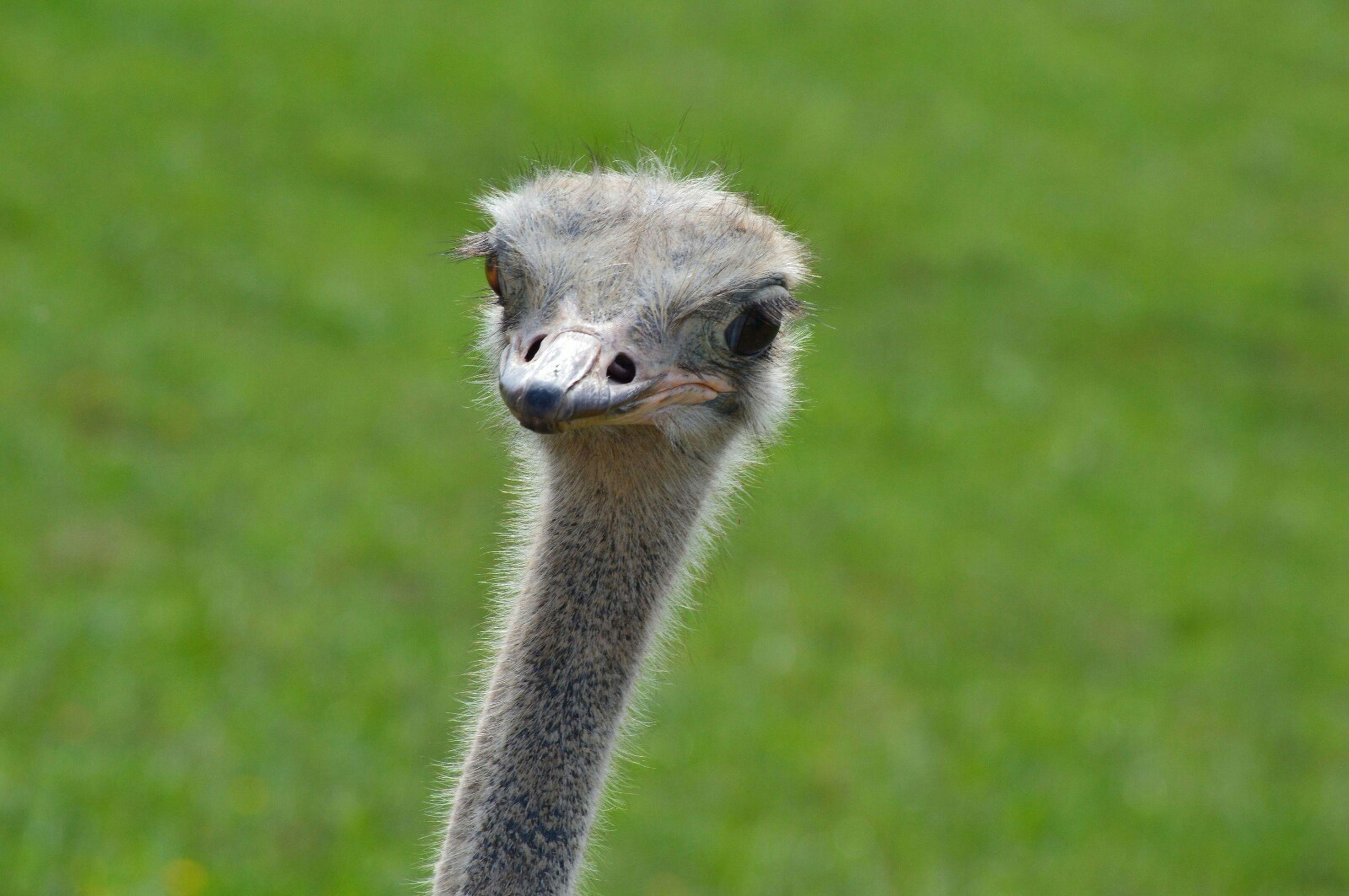 Nature Naturaleza Avestruz Ostrich Animals Animales Aves Birds Parquenaturalcabarceno The Purist (no Edit, No Filter)