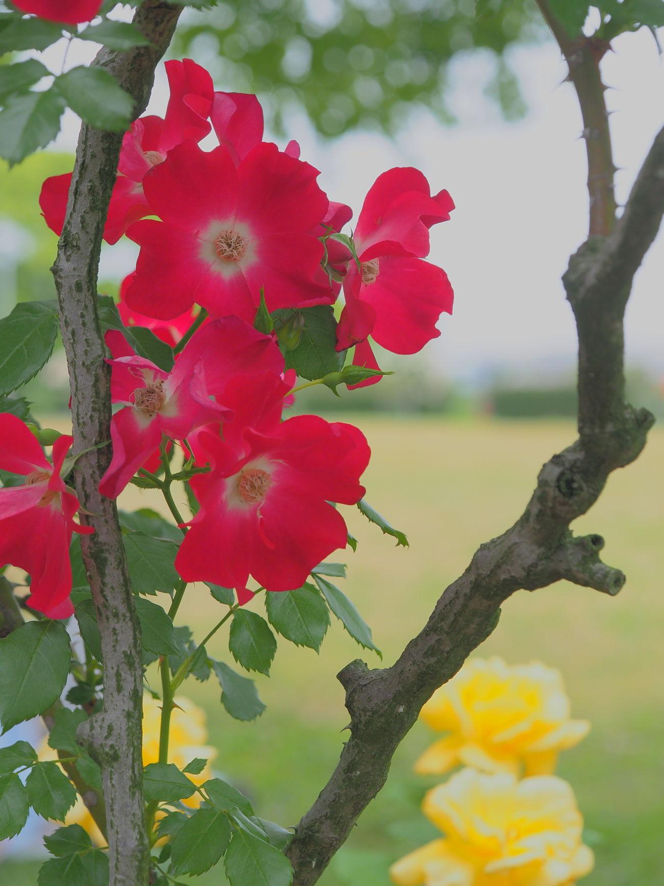 EyeEm EyeEm Best Shots EyeEm Gallery EyeEm Nature Lover EyeEmBestPics EyeEmFlower Red Red Flower Rose - Flower Roses Roses🌹 Rose♥