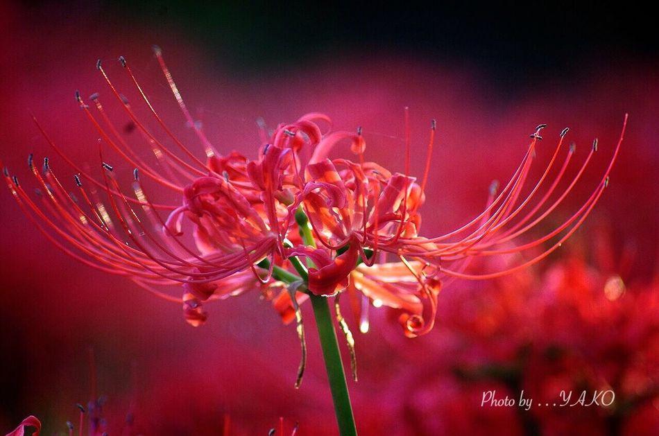 君しか見えない…そんなスポットライトの中を魅せる君 Flower 郷土の森 曼珠沙華 Autumn Colors