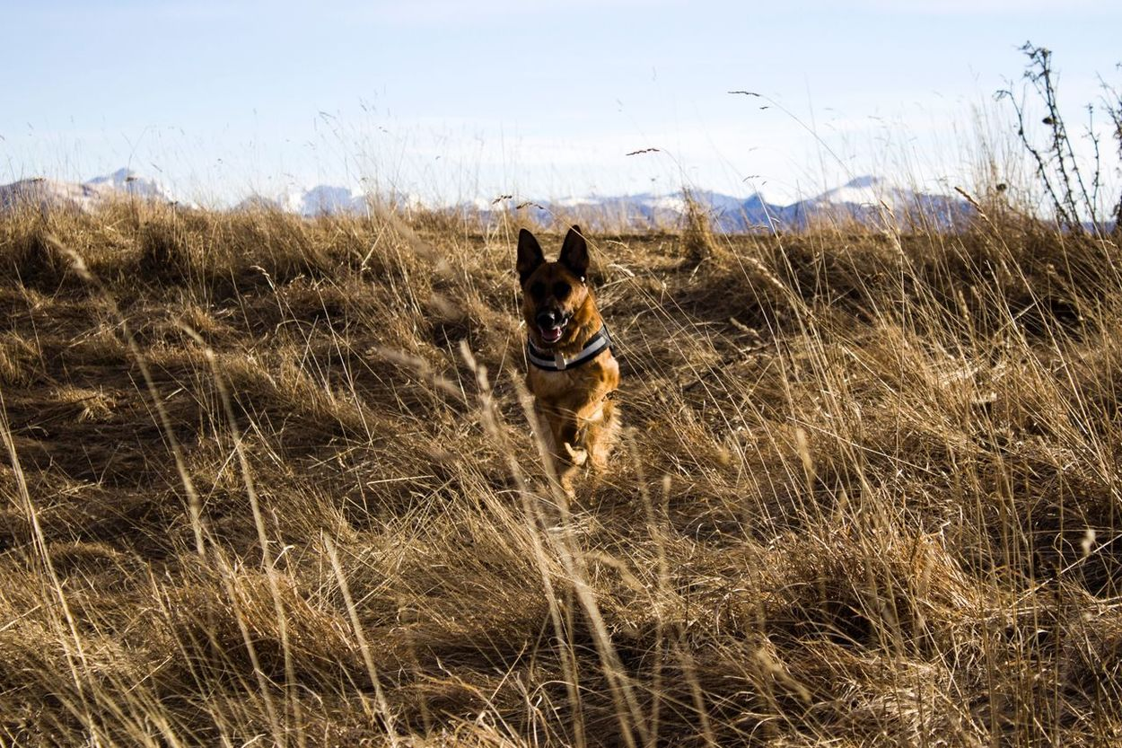Pets One Animal Field Dog Mammal Grass Domestic Animals Animal Themes Nature Outdoors No People Day Sky Moutains Germanshepherd