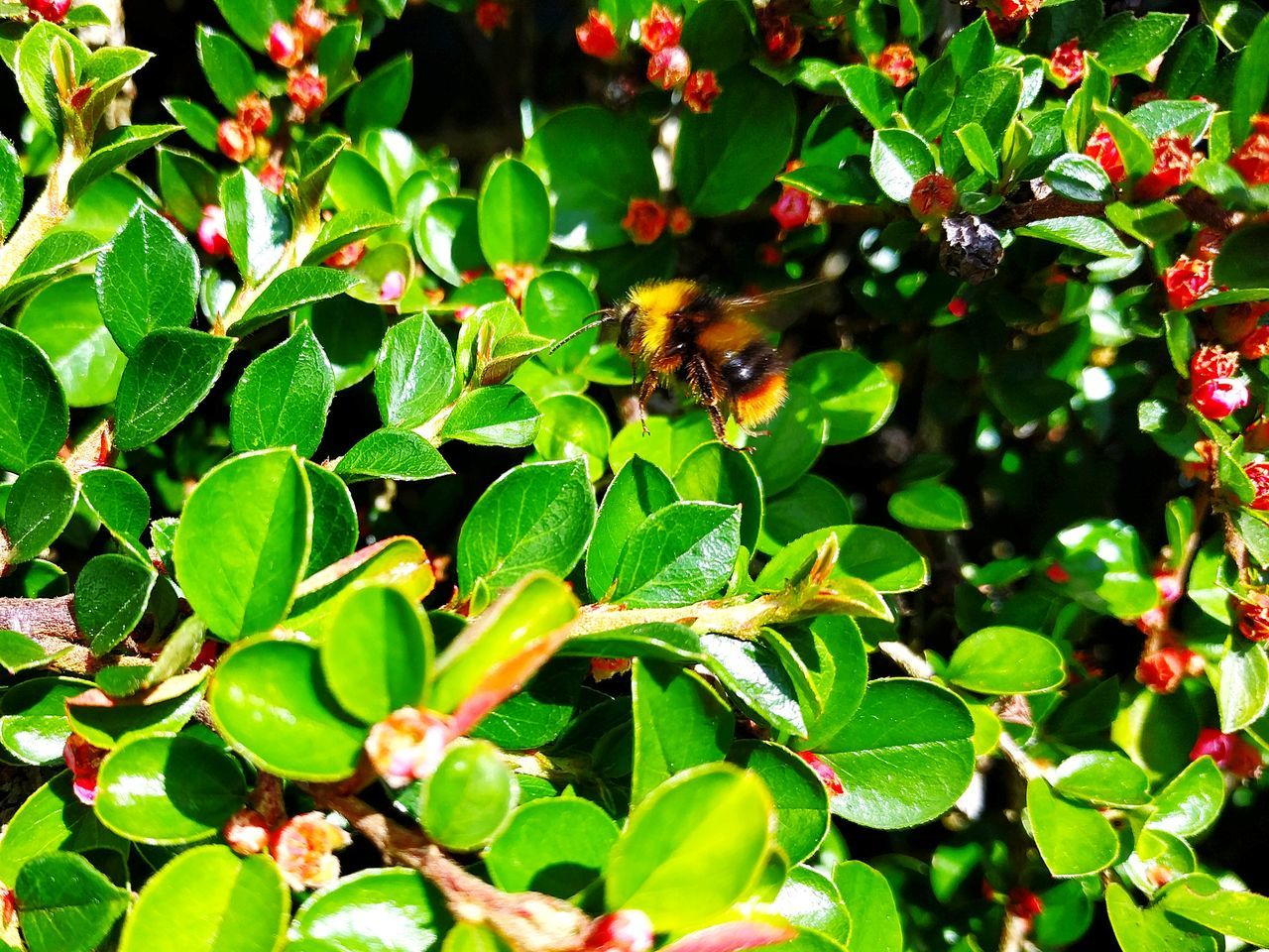 Worker Bee Leaf Nature One Animal Green Color No People Plant Animals In The Wild Growth Outdoors Animal Wildlife Animal Themes Day Close-up Beauty In Nature Freshness Bee Buzzing Bee Pollen Foraging Endangered  Black And Yellow  Red Flower Green Bush Green Leaves
