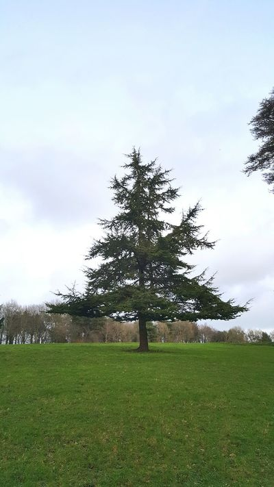 Trees Tree Solitary Sentinel Fir Tree Cloud And Sky Triangle 3 Sides To Every Story Rural Scene Parkland