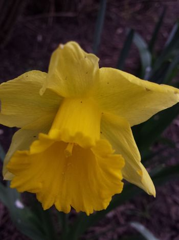 Beauty In Nature Flower Narcissus Spring Yellow Star