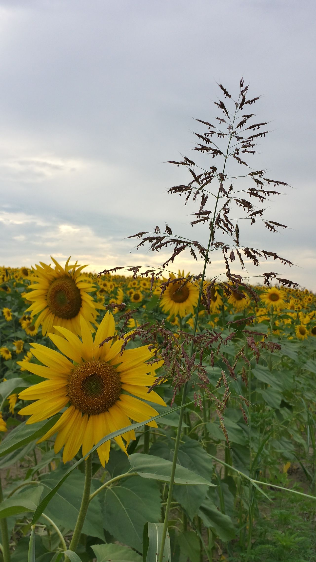 Beautiful stock photos of sunflower, Fadd, Green, Hungary, beauty in nature