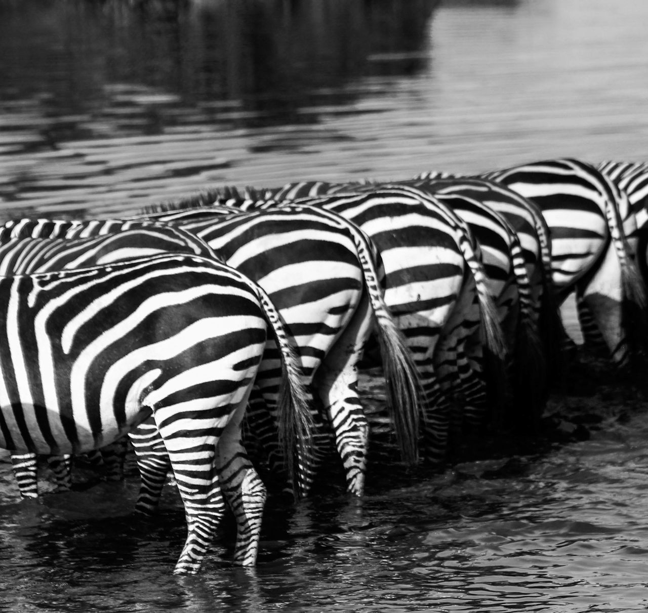 Zebra Bums Africa African Animals Animal Themes B&w Black And White Black And White Collection  Black And White Photography Safari Safari Animals Striped Travel Travel Destinations Travel Photography Water Wildlife Wildlife & Nature Wildlife Photography Zebra Zebra Bums