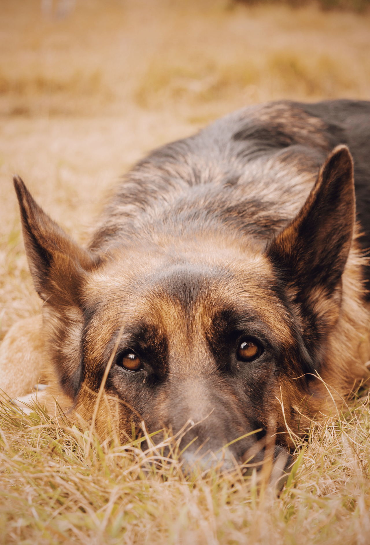 His eyes. Animal Themes One Animal Domestic Animals Pets Dog Animal Head  Close-up Looking At Camera Animal Body Part Portrait Focus On Foreground Field Relaxation Animal German Sheperd Animal Posing Animals Germanshepherd