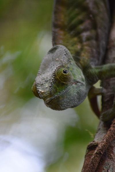 #Madagascar #NoFilter #chameleons #colours #nofiltertravel #travel #travelphotography #wildlife #wildlifephotography Close-up EyeEmNewHere