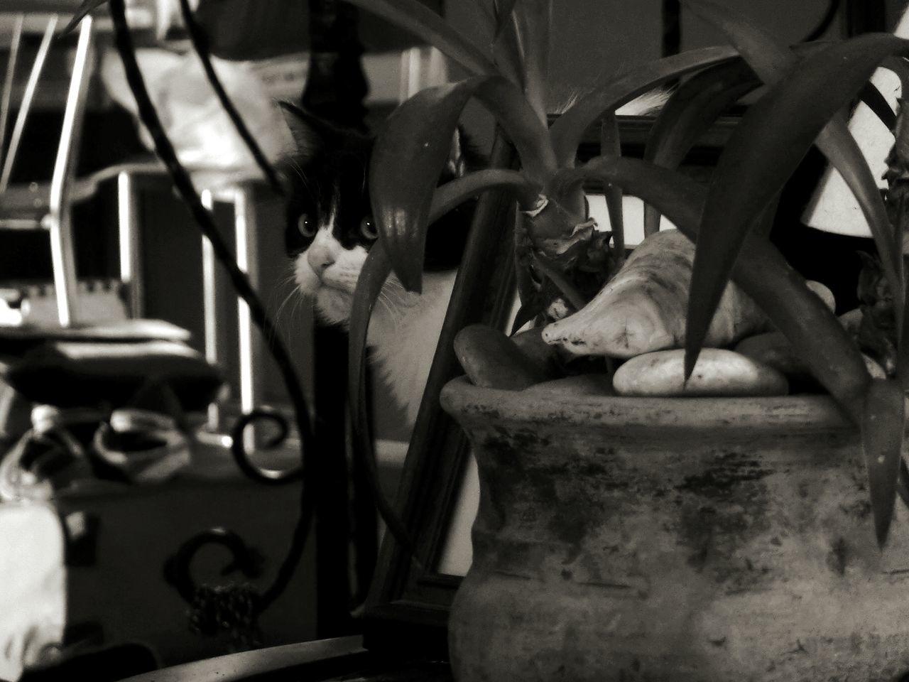 Grumpycat B&w Cat Hiding Sneeky my boy Louie