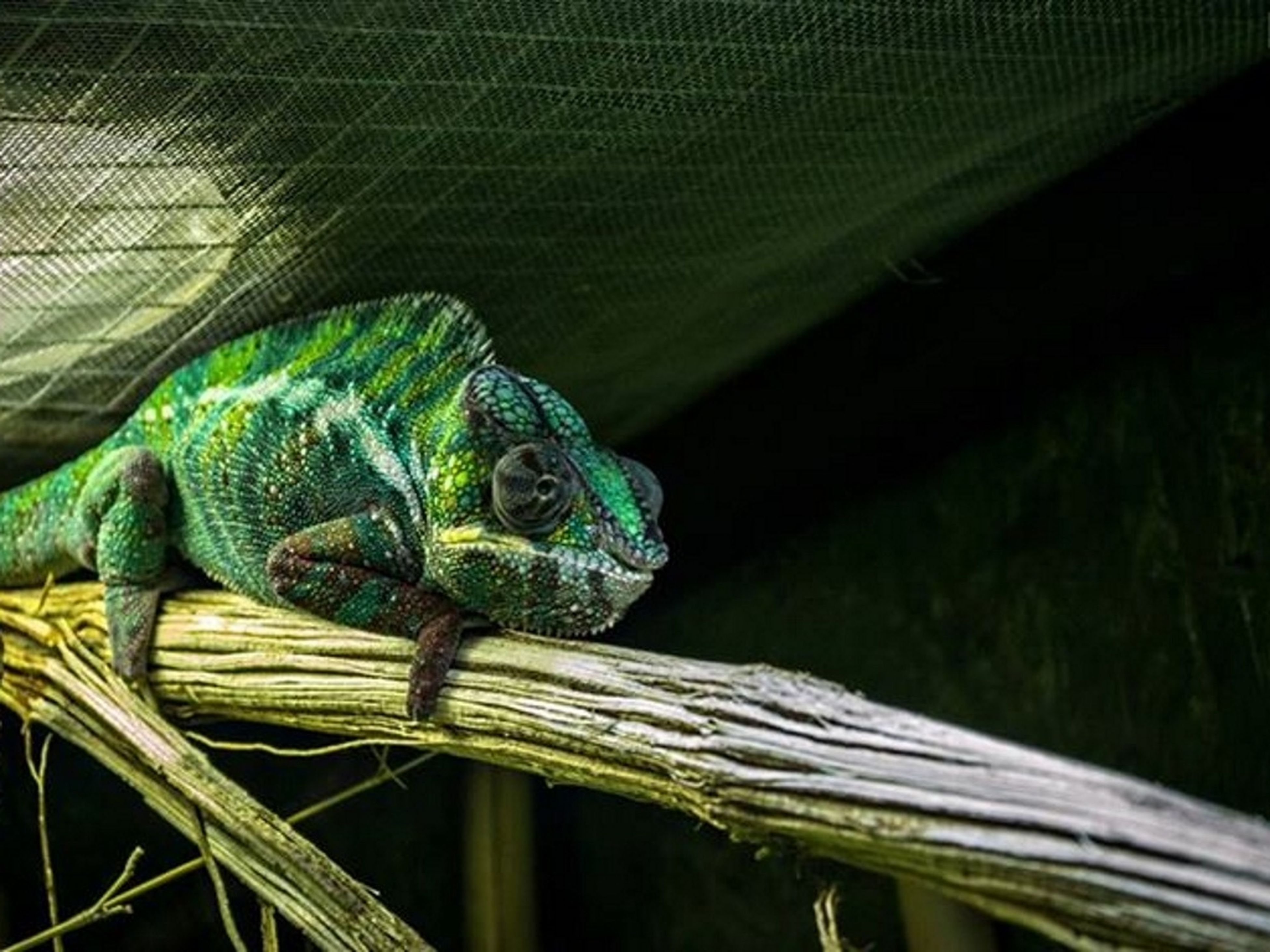 one animal, animal themes, reptile, wildlife, animals in the wild, lizard, close-up, green color, animal head, animals in captivity, indoors, part of, nature, focus on foreground, snake, natural pattern, day, animal body part, side view