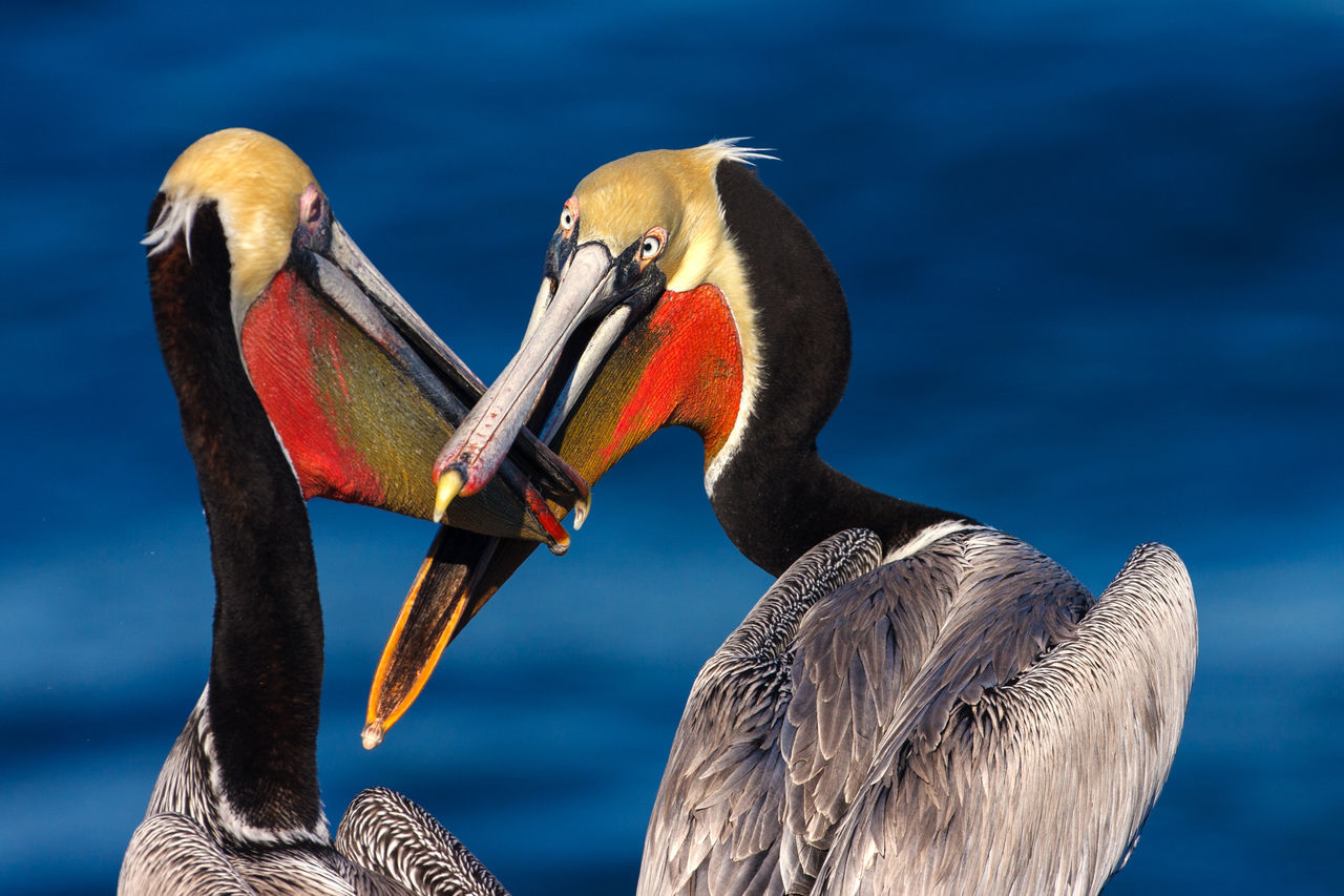WHAT TO DO WHEN YOUR NEIGHBOR WON'T STOP TALKING 😂 Animal Themes Animal Wildlife Animals In The Wild Beak Bird Brown Pelicans Close-up Pelicans Water