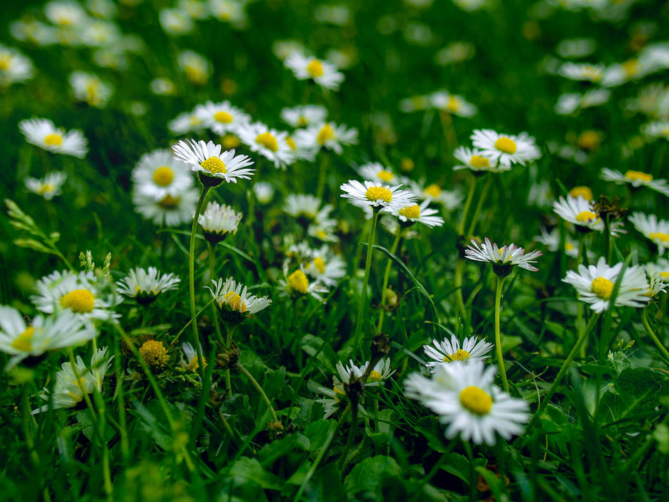 Flower Daisy Nature Uncultivated Fragility Plant Beauty In Nature Meadow Summer Wildflower Flower Head Day Springtime Selective Focus Wallpaper Background Backgrounds Daisies Flowers Green Color Field Growth Close-up Freshness Outdoors No People