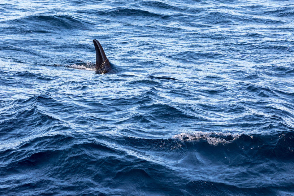 Adventure Animal Fin Animals In The Wild Aquatic Mammal Awsome Beauty In Nature Day Fun Killer Whale Mammal Nature Nature No People Norway Orca Outdoors Outdoors Photograpghy  Sea Sea Life Swimming Vesterålen Water Whale Whale Safari Whale Watching