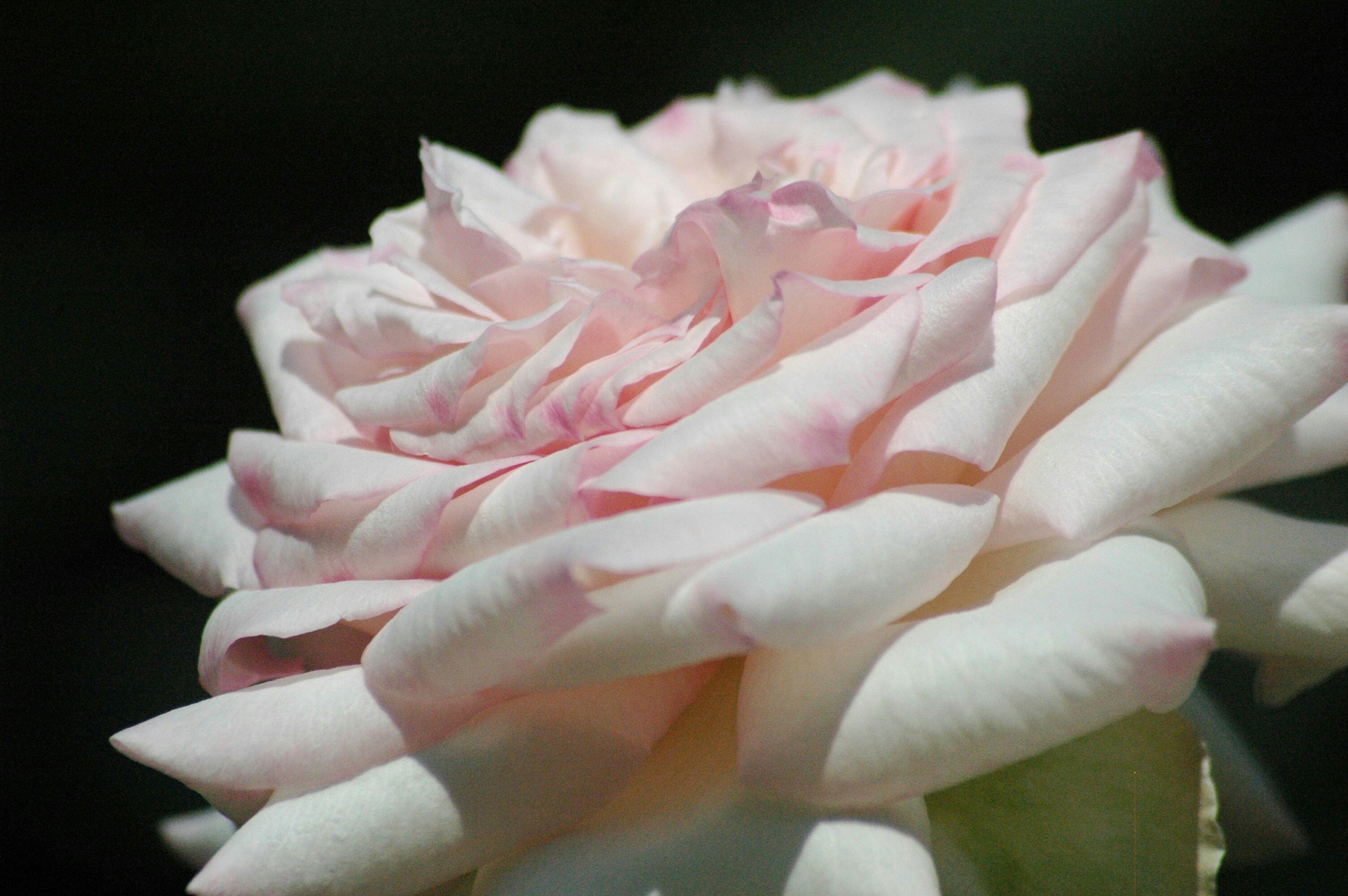 flower, petal, flower head, fragility, freshness, beauty in nature, close-up, studio shot, growth, black background, single flower, nature, rose - flower, pink color, blooming, plant, no people, natural pattern, rose, bloom