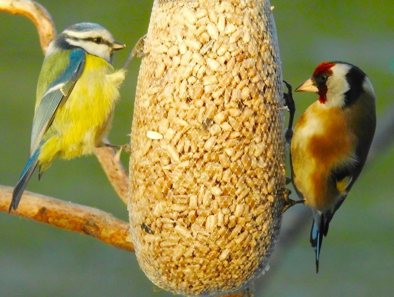 Animal Themes Animal Wildlife Animals In The Wild Bird Bluetit Day Feeding  Food Nature No People One Animal Outdoors Perching Stiglic Tengelic Yellow Yellow Bird Yellow Bird In Green Background