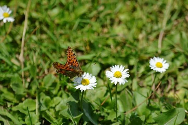 Srinagar Kashmir Butterfly Flower Freshness Fragility Growth One Animal Animals In The Wild Beauty In Nature Insect Animal Themes Nature Petal Wildlife Flower Head Pollination Plant Close-up Butterfly In Bloom Springtime Focus On Foreground