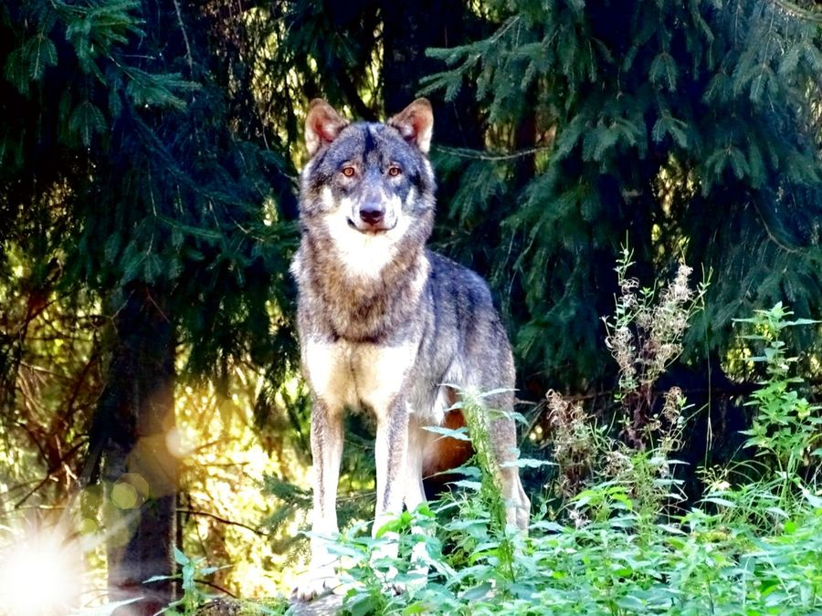 One Animal Animal Themes Mammal Front View Zoology Animal Nature Animals In The Wild Dangerous Animals Wolf Beauty In Nature Wildlife & Nature Wildlife No People Focus On Foreground Wild