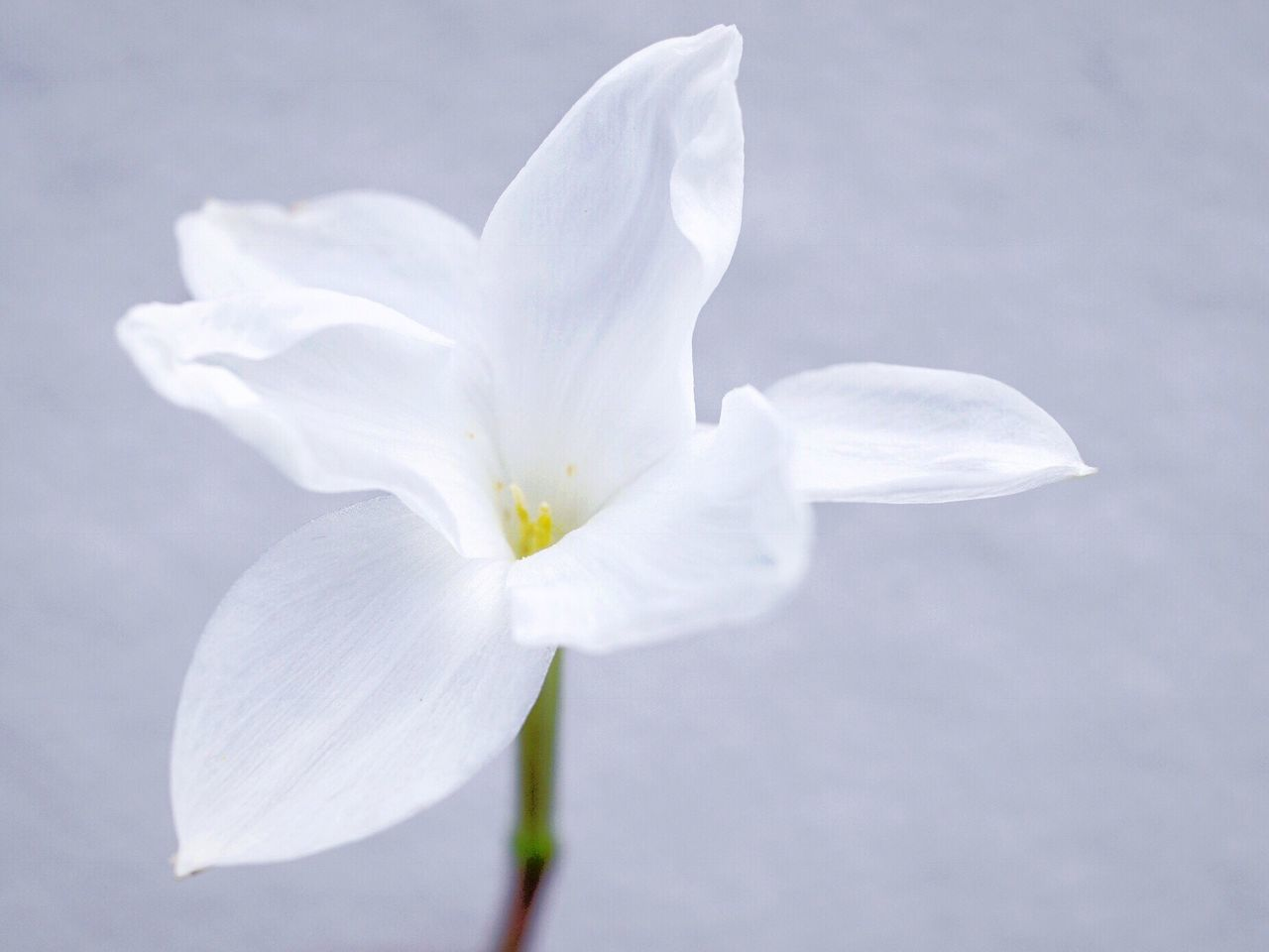Zephyranthus drummondii Flower White Flower Simplicity Flower Collection Flowerporn Light And Shadow EyeEm Nature Lover
