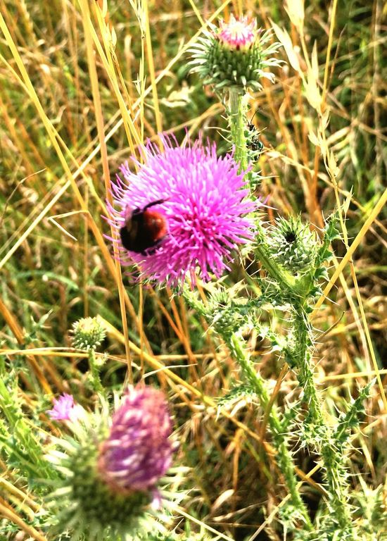 Beauty In Nature Flower Purple Nature Plant Beauty In Nature Growth Fragility Thistle Flower Head Insect No People Petal Day Outdoors One Animal Freshness Animals In The Wild Bee Field Blooming