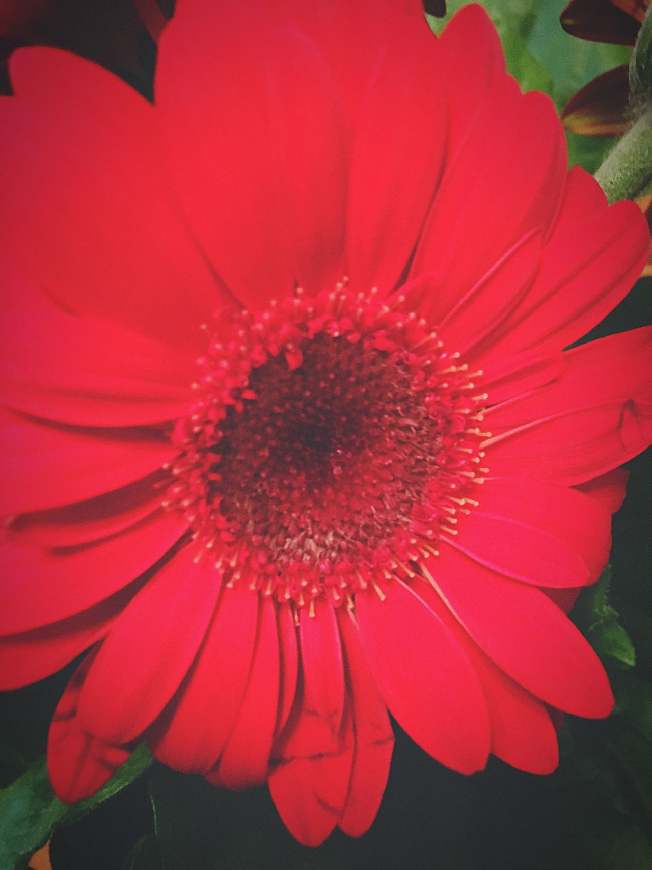 Red Nature Gerbera Gerberdaisy Valentine's Day  Love