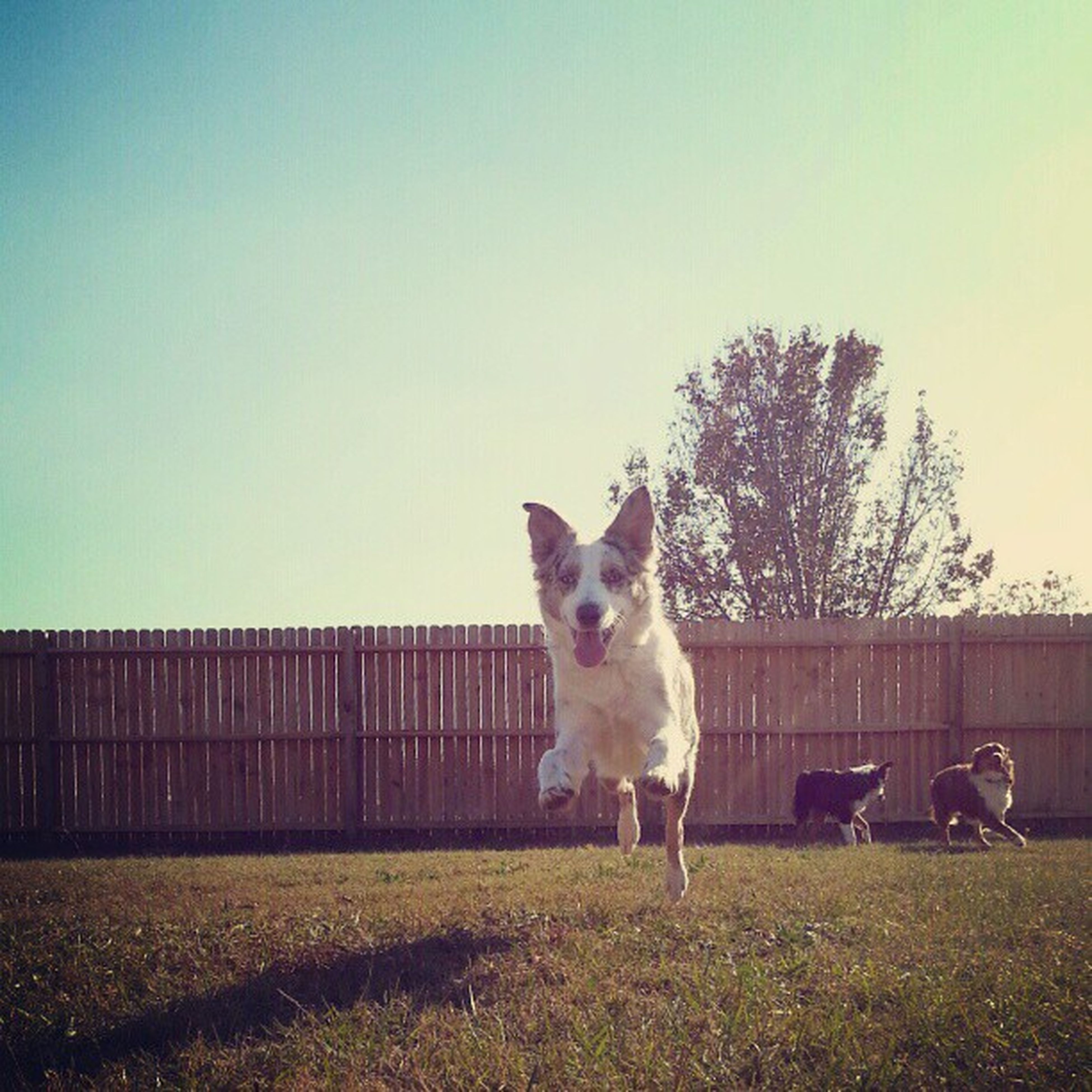 animal themes, domestic animals, mammal, one animal, clear sky, pets, copy space, dog, field, grass, standing, tree, landscape, sky, outdoors, nature, full length, built structure, day, no people