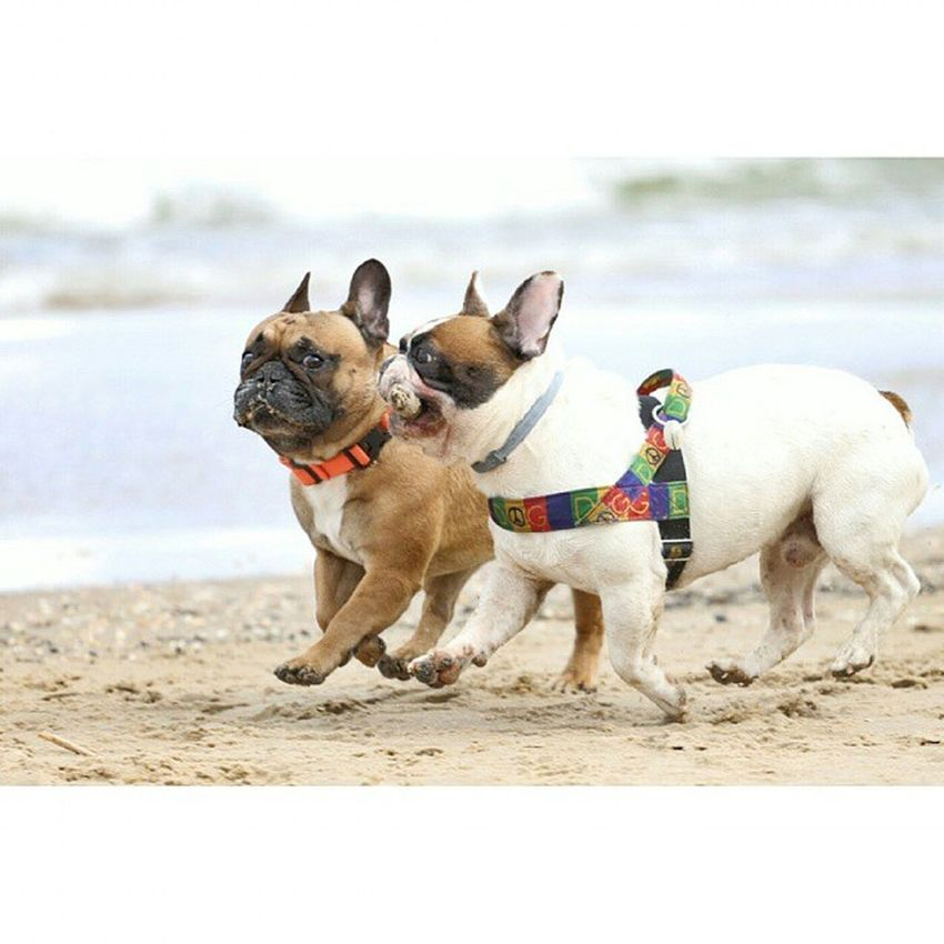 @europiesel Frenchzone Gonzothunder Frenchzoneonly Frenchielove Crazyfrenchielovers Frenchbulldog Frenchbulldogs Frenchie Frenchies Canon 50mm Doggie Dogs Dogsareawesome Instabulldogs @frenchie_bulldog @cesar_frenchie @manny_and_friends @frenchie_bulldog @frenchie_bulldog @_bullove_ @bullyinstagram