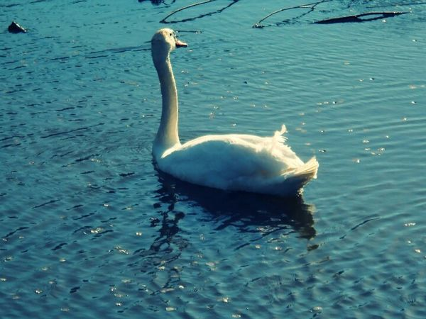 Labud Jezero Swan Swan Lake White Swan Swan Series Lake Bella Vita Nature Nature On Your Doorstep