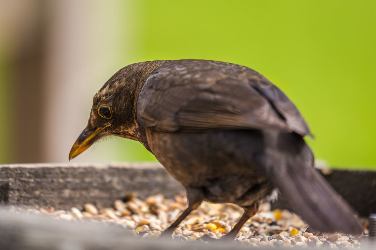 bird, focus on foreground, close-up, one animal, animals in the wild, no people, animal themes, animal wildlife, day, nature, side view, outdoors, beak