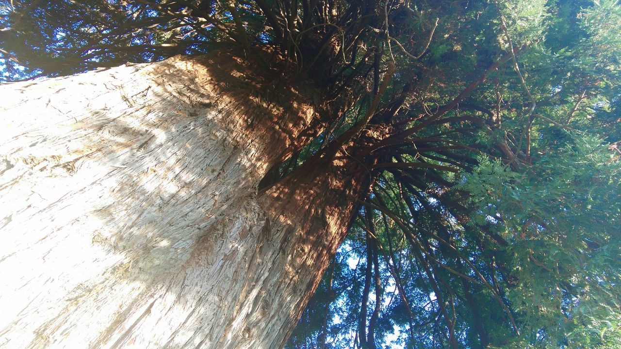 tree, low angle view, tree trunk, growth, nature, day, sunlight, no people, outdoors, tranquility, branch, beauty in nature, sky