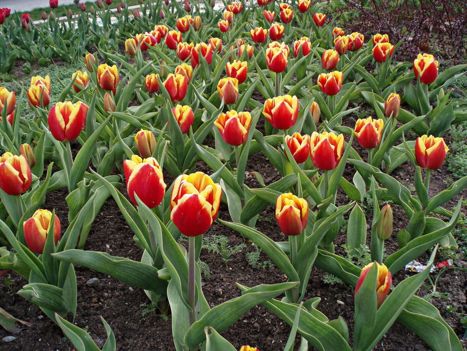 Abundance Clones Flowers Plurality Red & Yellow Spring Spring Flowers Tulips Striped Tulips