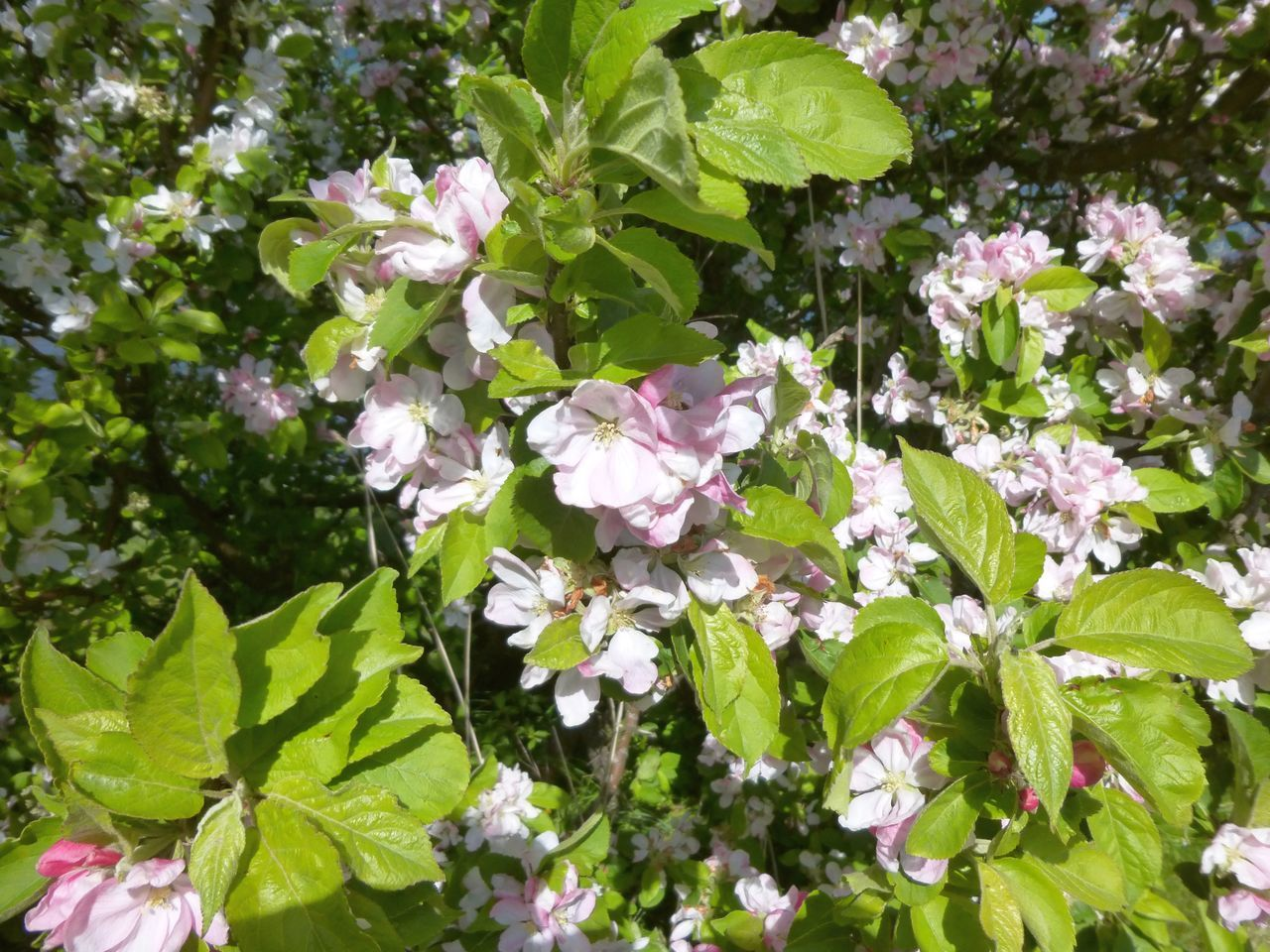 High Angle View Of Fresh Apple Blossom Flowers Blooming In Garden