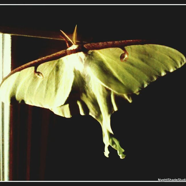 Close-up Black Background Focus On Foreground Studio Shot No People Freshness Moth Moon Moth Animals Beauty In Nature Unusal