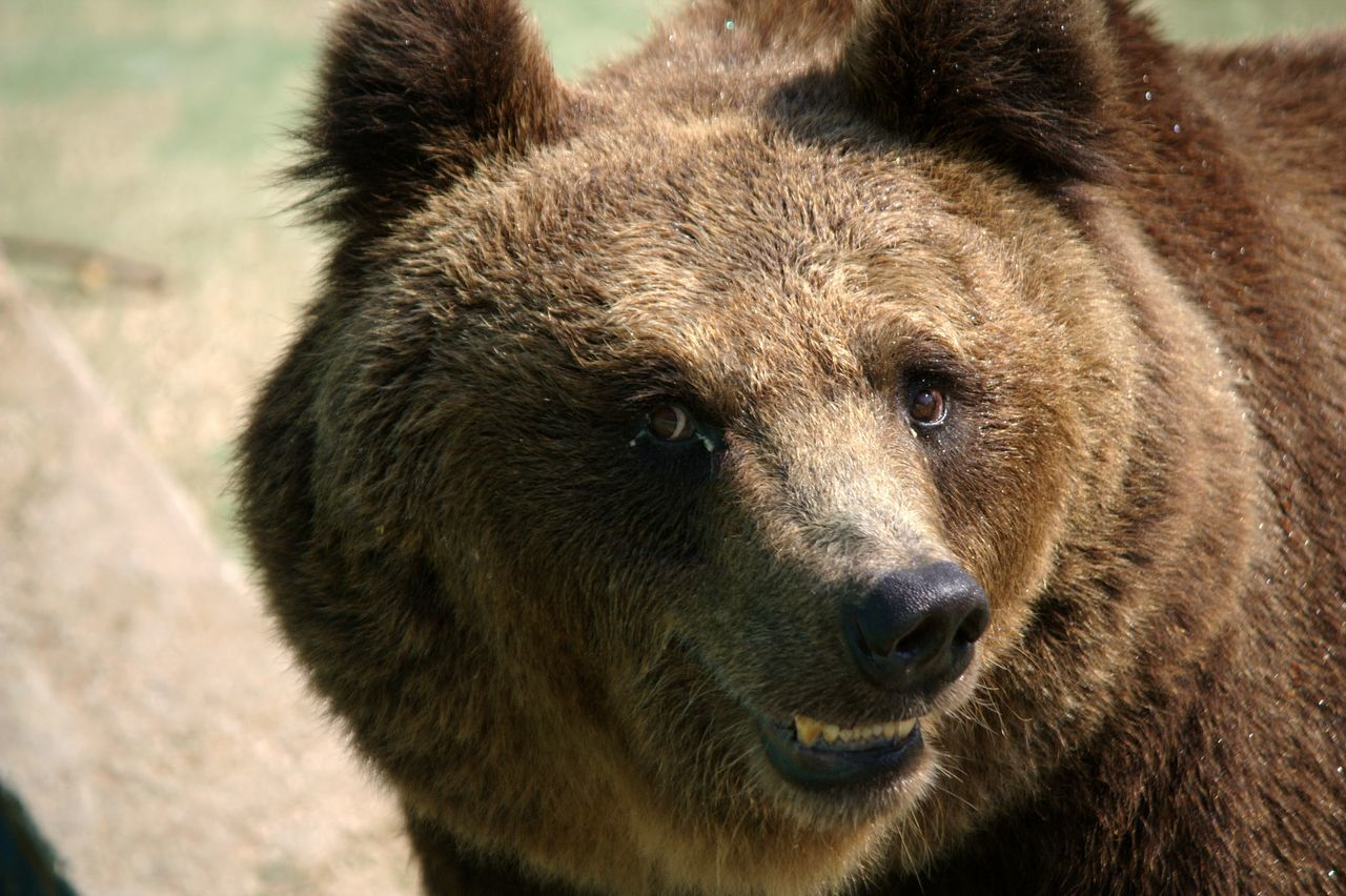 Beautiful stock photos of funny animal, Animal Themes, Animal Wildlife, Animals In The Wild, Bear