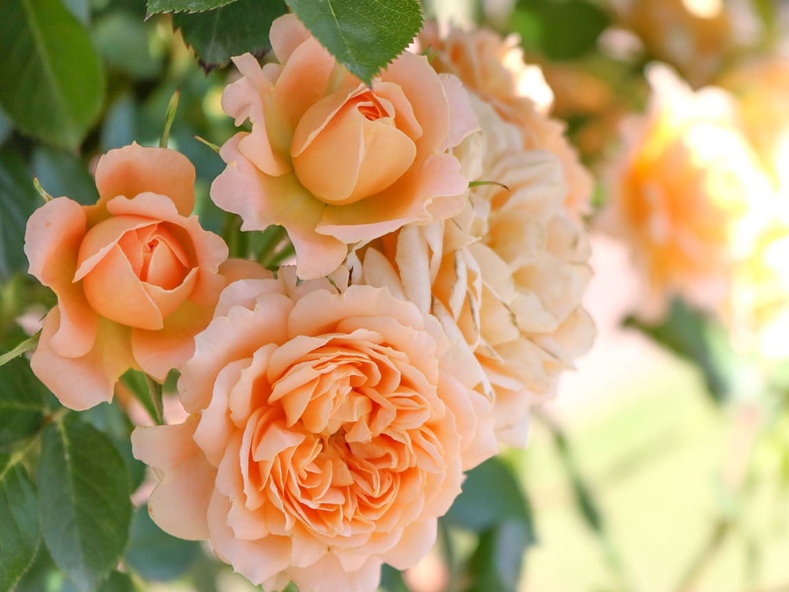 Flower Plant Nature Close-up Rose - Flower Fragility Flower Head Petal Day No People Beauty In Nature Outdoors Defocused Freshness 薔薇 花 バラ園 バラ お写ん歩 Rosé