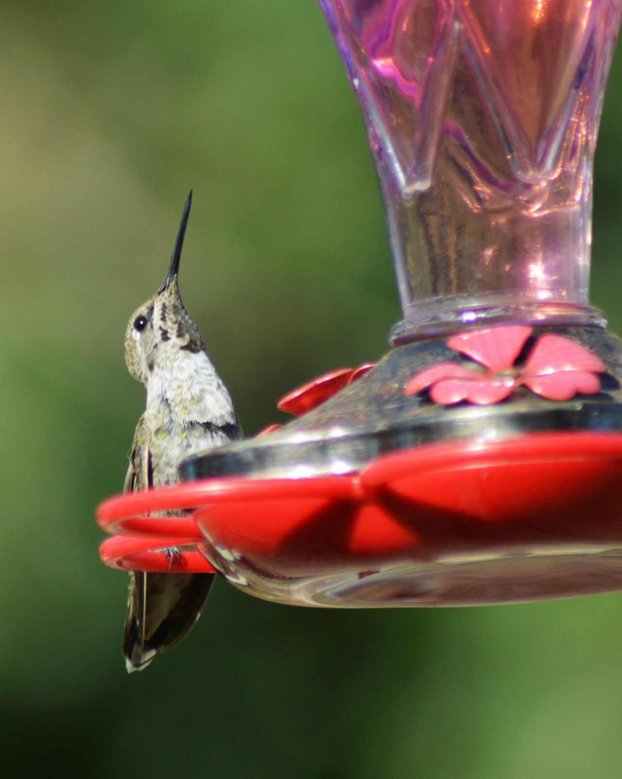 Hummingbird Looking Up Animal Wildlife Bird Bird Photography Animals In The Wild Outdoors Red Beautiful Nature Feeding