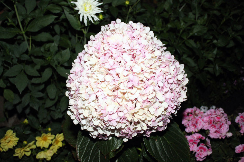 Beauty Beauty In Nature Beauty In Nature Blossom Close-up Flashlight Flower Flower Head Fragility Hydrangea Nature No People One Plant Outdoors Pink Color Pink Lady Plant