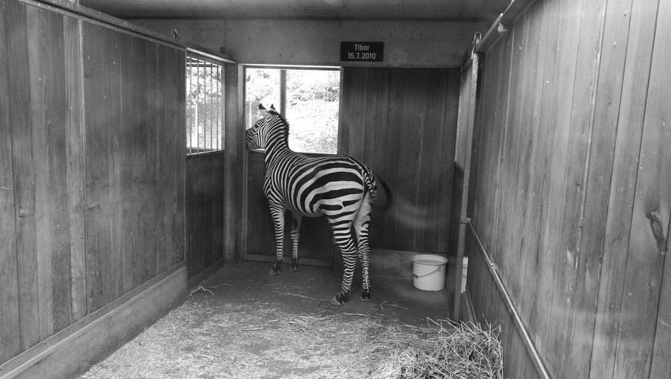 Happy Birthday! Tiber Zoo Basel Zebra