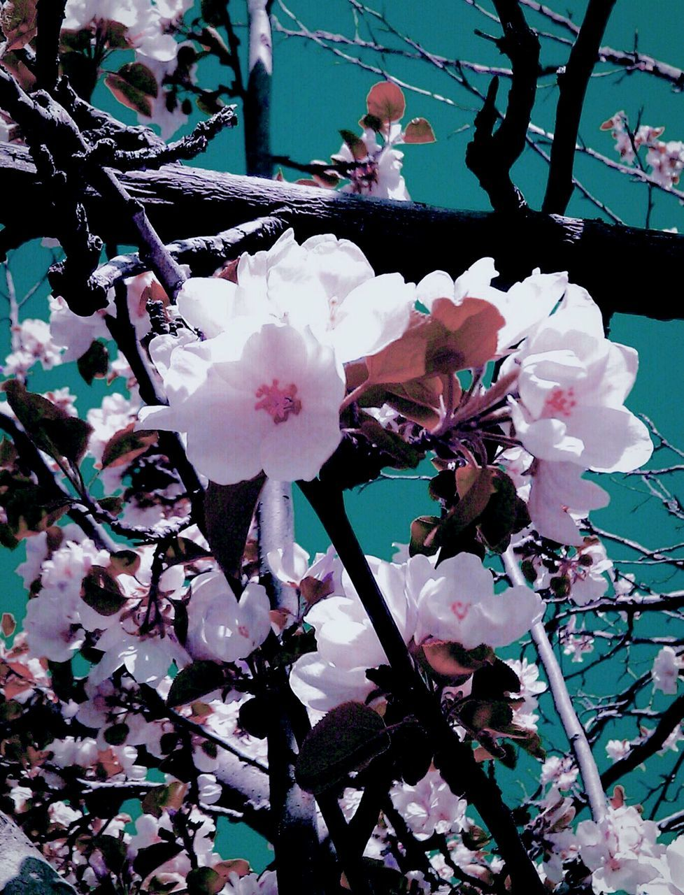 flower, fragility, growth, beauty in nature, petal, blossom, nature, tree, freshness, springtime, branch, flower head, white color, no people, apple blossom, blooming, twig, day, plum blossom, pink color, outdoors, close-up, plant, sky