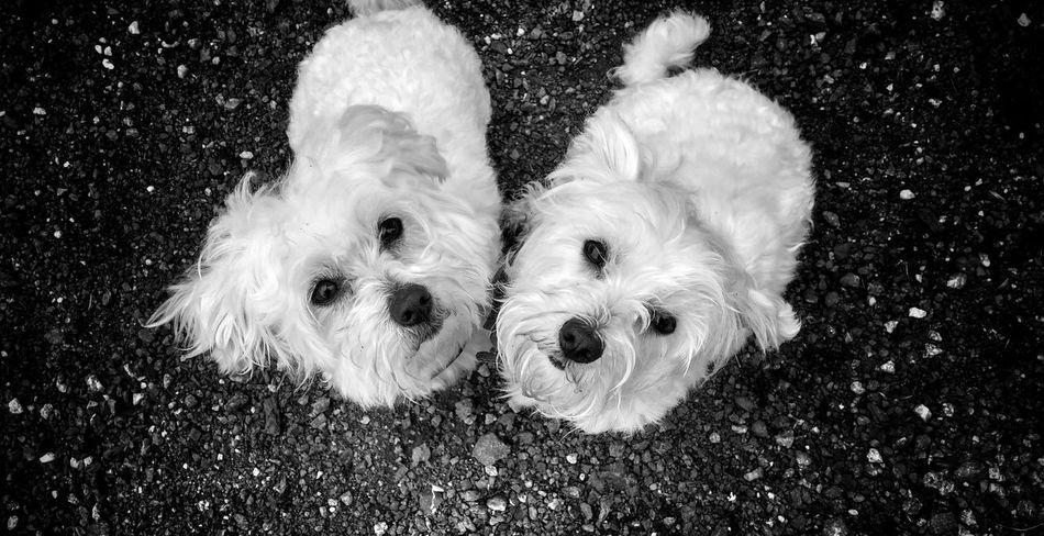 Bichon Maltese Puppy Love Soulmates ♡ Showcase July