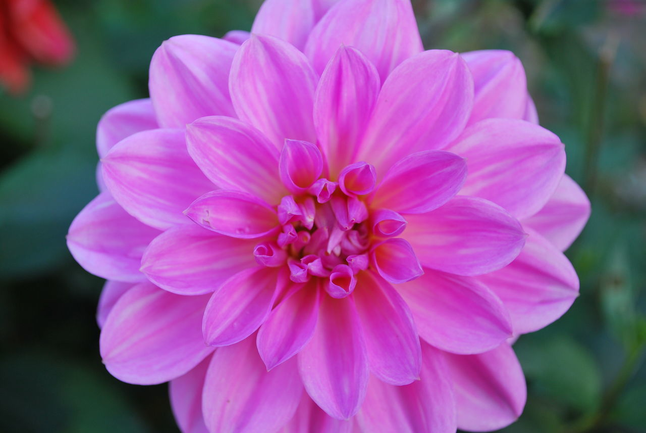 flower, petal, flower head, nature, beauty in nature, focus on foreground, pink color, fragility, close-up, freshness, plant, outdoors, growth, blooming, day, dahlia, no people, zinnia