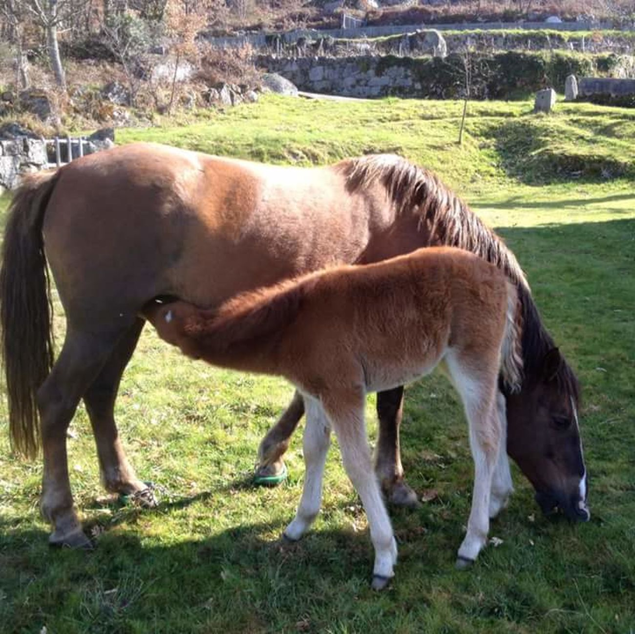 Horse Animal Themes Grass Mammal Sunlight Domestic Animals Field Livestock Brown Foal No People Shadow Grazing Nature Young Animal Herbivorous Mane Day Tree Outdoors