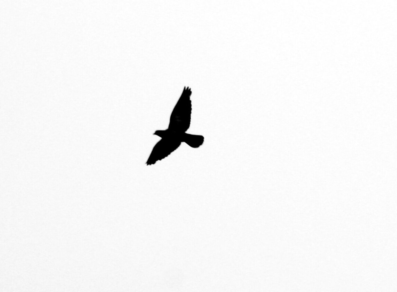 Bird Flying Animals In The Wild Animal Wildlife One Animal Animal Themes Spread Wings No People Raven - Bird Bird Of Prey Silhouette Low Angle View Outdoors Nature Day Sky The Great Outdoors - 2017 EyeEm Awards Freshness Beauty In Nature Summer Nature High Contrast Growth Póvoa De Varzim Honor8