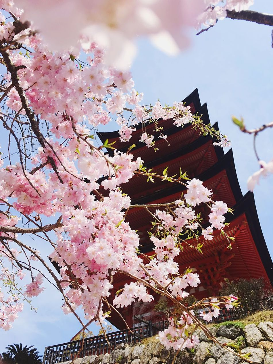 Pagoda behind blossoms Flower Pink Pagoda Spring Nature Freshness Growth Hidden Blossom Low Angle View Close-up Japan Miyajima No People Blooming Outdoors Lovely Cultural Heritage Iphoneonly IPhoneography EyeEmNewHere