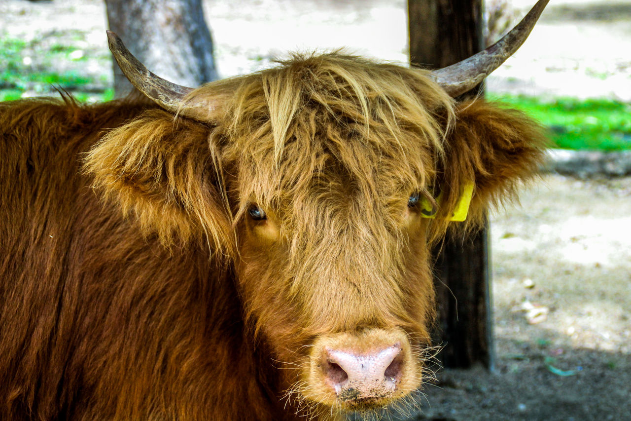 animal themes, domestic animals, one animal, mammal, cow, domestic cattle, livestock, cattle, horned, highland cattle, day, animal hair, no people, focus on foreground, brown, looking at camera, portrait, domesticated animal tag, nature, outdoors, close-up, standing, farm animal