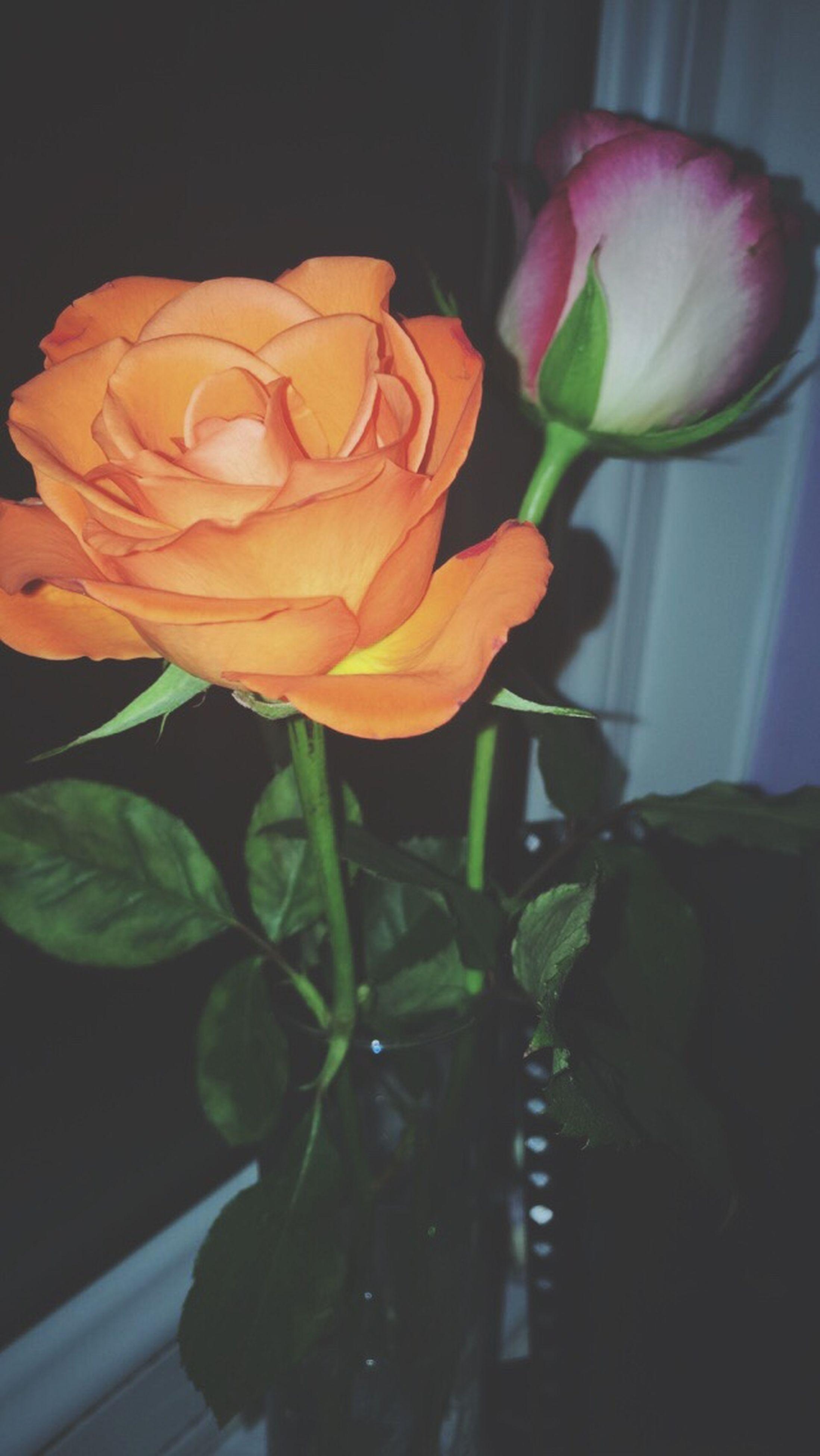 flower, petal, flower head, fragility, freshness, rose - flower, indoors, beauty in nature, close-up, growth, vase, nature, plant, blooming, rose, leaf, stem, in bloom, no people, tulip