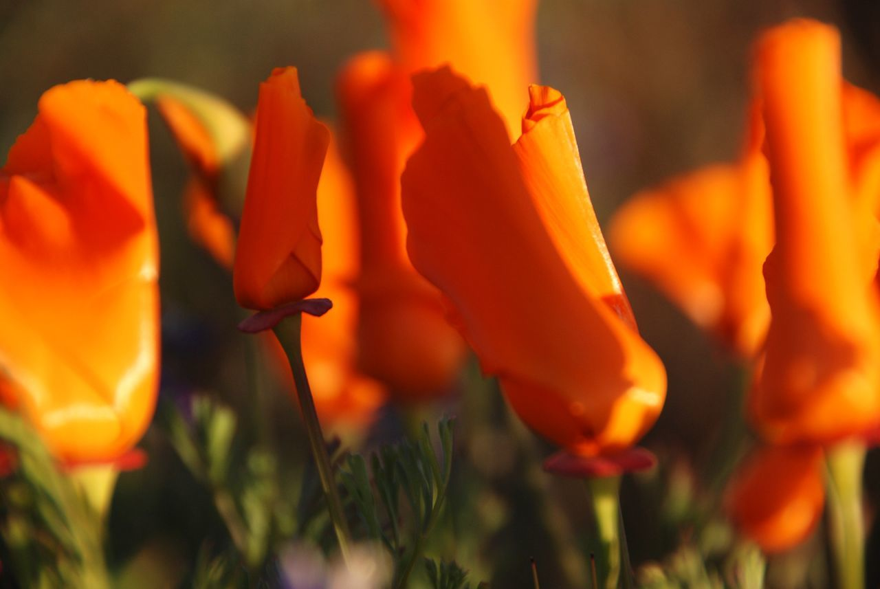 Backgrounds Beauty In Nature Beauty In Nature Blooming Close-up Day Flower Flower Head Fragility Freshness Growth Nature Nature No People Orange Color Outdoors Petal Plant Poppies  Poppy Field